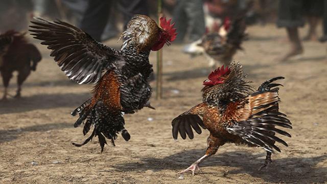 Mudahnya Bergabung Dan Bermain Sabung Ayam Online
